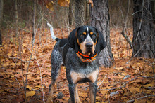 Bluetick Coonhound In Woods