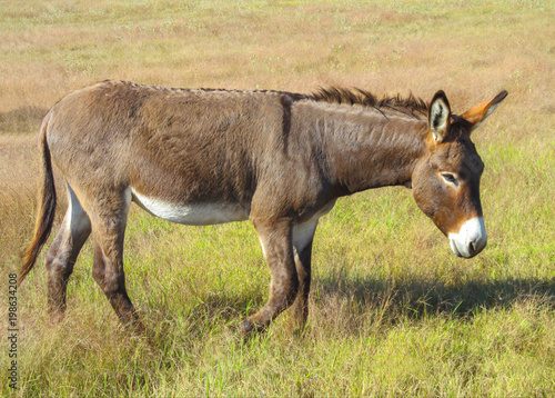 Staande foto Ezel Walking donkey in position side view. Cute animal standing on a farming pasture with dry grass background.