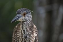 Yellow Crowned Night Heron Juv...