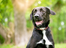 A Black And White Retriever Mixed Breed Dog Outdoors