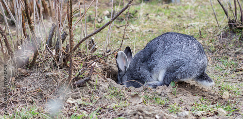 rabbit hole / a gray rabbit digs a hole in the garden