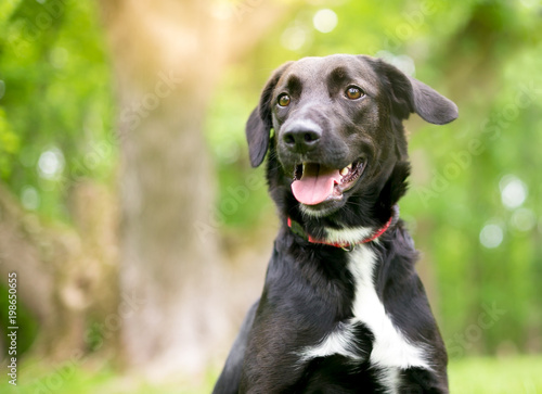 Photo A black and white Retriever mixed breed dog outdoors