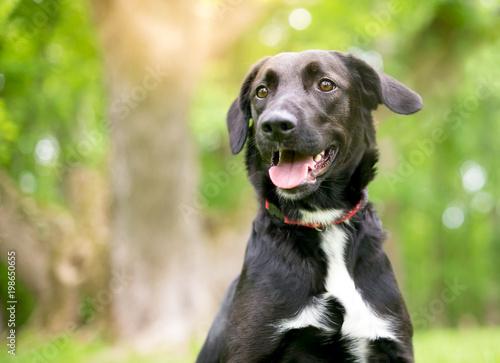 A black and white Retriever mixed breed dog outdoors Fototapeta