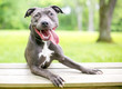A happy blue and white Pit Bull Terrier mixed breed dog with its tongue hanging out