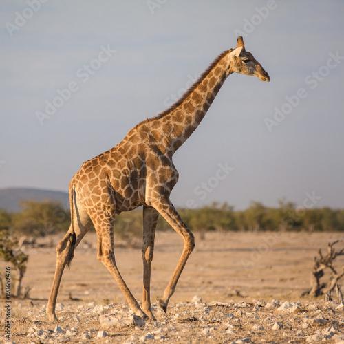 Foto op Plexiglas Giraffe giraffe running