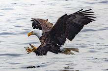 Baldeagle Fishing