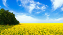 Rapeseed Field In The Afternoon. Yellow Flowers And Blue Sky With Clouds. Beautiful Summer Background.