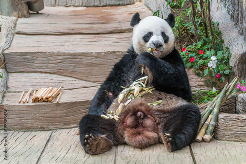 Stickers pour portes Panda A male giant panda bear enjoy his breakfast of well selected young bamboo shoots and bamboo sticks with cute different eating gestures.