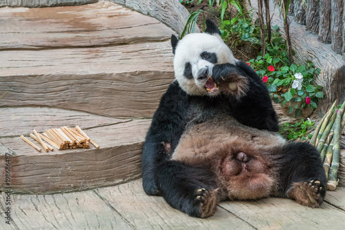 A male giant panda bear enjoy his breakfast of well selected young bamboo shoots and bamboo sticks with cute different eating gestures Slika na platnu