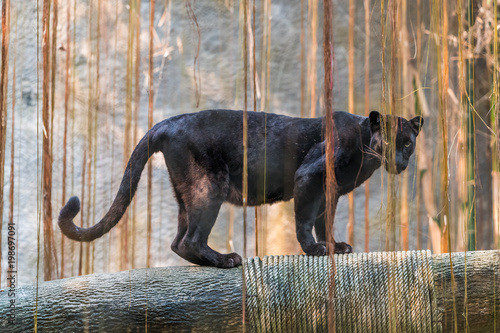 Photo Stands Panther A black panther is the melanistic color variant of any big cat species. Black panthers in Asia and Africa are leopards and those in the Americas are black jaguars.
