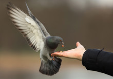 Feral Pigeon Feeding From The Hand