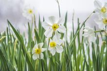 White Daffodils Blossom