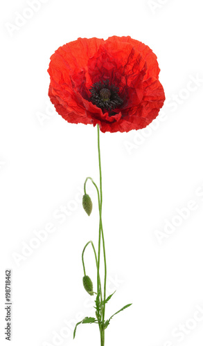 Foto op Plexiglas Klaprozen Poppy flower on white background