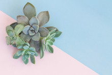 Top View Arrangement Of Various Succulents, Stone Rose, Echeveria, Pachyveria, On Pastel Pink And Blue Background - Simple Design With Copy Space