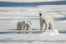 Polar Bear Mother With Two Cubs On Ice