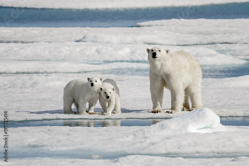 In de dag Ijsbeer Polar bear mother with two cubs on ice
