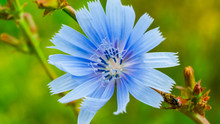 Close-up View Of Chicory Flower, Green Blured Background