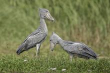 Shoebill ( Schoenbekooievaar )