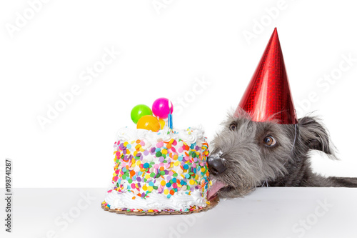 fototapeta na drzwi i meble Funny Birthday Dog Eating Cake