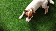 Young Jack Russell Terrier Have A Rest