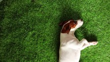 Young Jack Russell Terrier Hav...