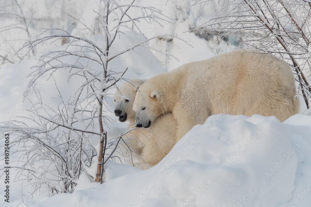 Polar bears cuddling and playing