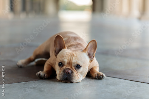 French Bulldog lying down on the floor. Young Male Frenchie resting in a building hallway.