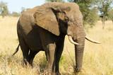African Elephant Bull. Kruger National Park, South Africa