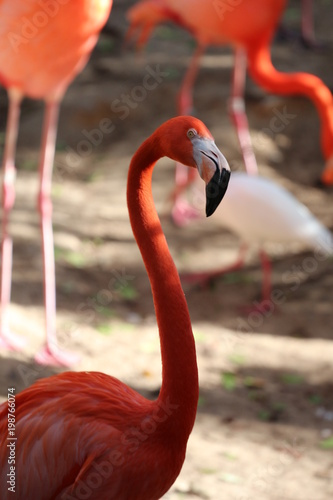 Foto op Aluminium Flamingo Portrait of a American Flamingo / Birds