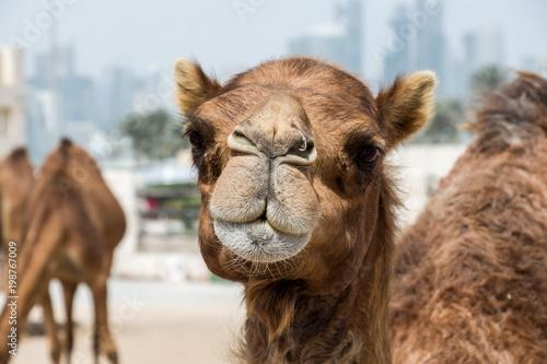 Keuken foto achterwand Kameel camel market in Doha, Qatar