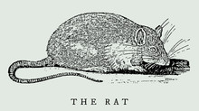 The Rat In Side View, After An Antique Woodcut Engraving, Illustration From The 17th Century. Easy Editable In Layers
