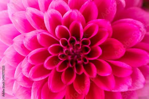 Staande foto Dahlia Macro shot of pink dahlia