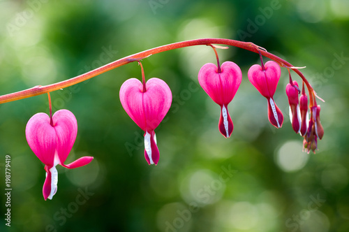 Fotografía Close up of a cluster of bleeding hearts growing in the spring