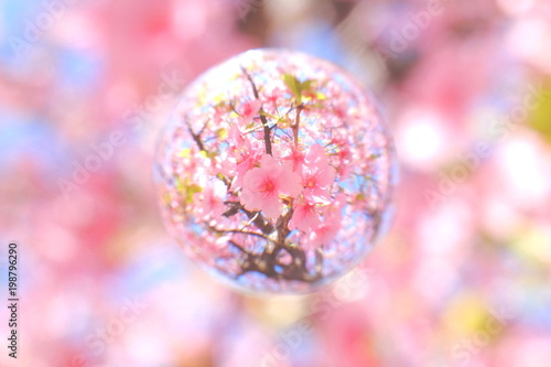 Wall Murals Candy pink 河津桜と葉桜 春イメージ
