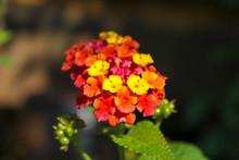 Lantana Flower Clous-up