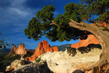 Twisted Juniper At The Garden Of The Gods Colorado