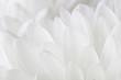 Leinwandbild Motiv Petals of a white chrysanthemum close-up on a white background.