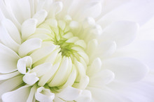 A White Chrysanthemum Flower C...