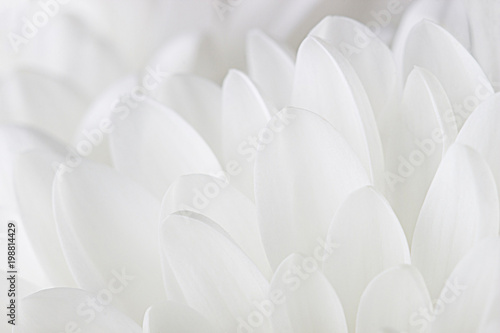 Door stickers Macro photography Petals of a white chrysanthemum close-up on a white background.