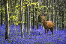 Colorful Vibrant Bluebell Land...