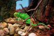 canvas print picture - Chamäleon, Tier, Zoo, Garten, Stein, Baum, grün, Ast, Natur, macro,
