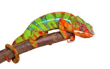 Fototapeta Chameleon on branch