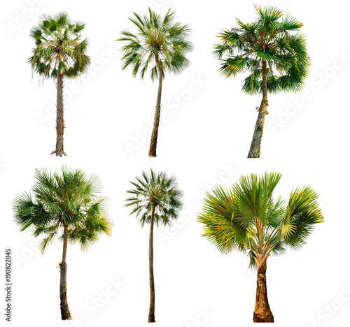 Staande foto Palm boom palm tree isolated on white background with Clipping Path