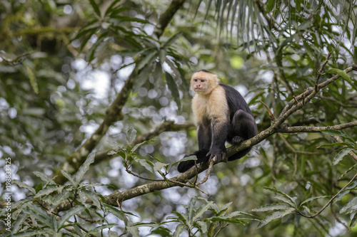 White-faced Capuchin - Cebus capucinus, beautiful bronw white faces primate from Costa Rica forest Tablou Canvas