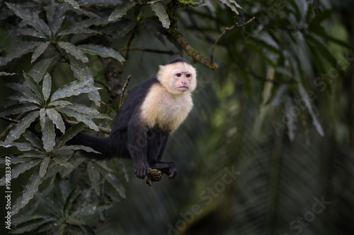 Fotografie, Tablou White-faced Capuchin - Cebus capucinus, beautiful bronw white faces primate from Costa Rica forest