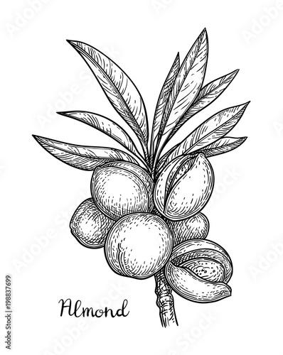 Fotografía  Ink sketch of almond.