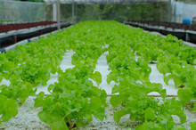 Organic Hydroponic Green Veget...