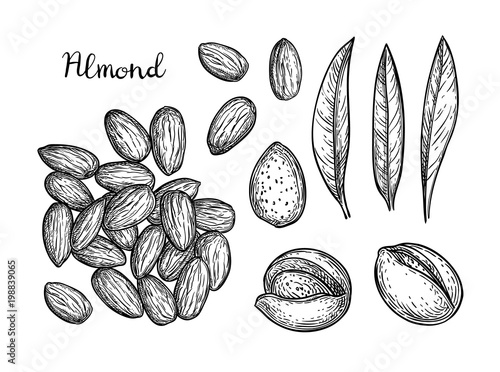 Fotomural  Ink sketch of almond.