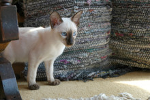 Young Chocolate Point Siamese ...