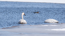 Swans Are Swimming In A Lake I...